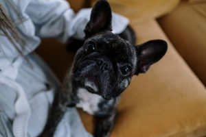 Reasons Why the French Bulldog is One of the Most Loved Dog Breeds Out There Today